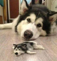 Husky gets a miniature friend