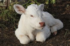 18 Amazing Albino Animals Calf