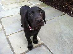 Black Labrador puppy. Beyond cute.