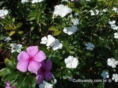 http://www.cultivando.com.br/plantas_detalhes/vinca.html  Nome popular: Vinca; Vinca-de-gato; Vinca-de-madagascar; Boa-noite.  Nome científico: Catharanthus roseus L.  Família: Apocynaceae.  Origem: Cosmopolita nos trópicos.