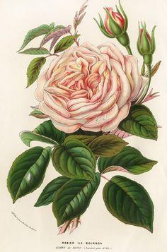 Louis van Houtte Flore des Serres Singles 1858. Blomster. Vintage illustrasjoner:. ♥ Creative NN. Albina Rasseinoy blogg. ♥