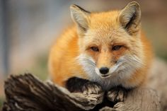 Red Fox by Erik Unger on 500px