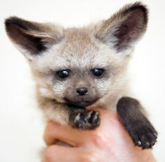 Bat-eared Fox Pup - Bat-eared Foxes are mostly nocturnal animals that live in small groups consisting of mated pairs and their young. The pairs live in dens and typically raise two to five pups together. Mated pairs are very social and are monogamous, although it is unknown if they mate for life.