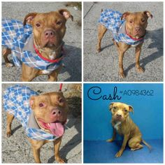 """CASH needs an adopter or foster by Wednesday morning! He's in #NYC and is on """"the list"""". Please pin this post far and wide right now - it takes only a few seconds, but could mean a lifetime for sweet CASH.  https://www.facebook.com/lazypitbull/posts/731717296857030"""