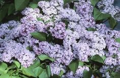 How to Grow Lilac Hedges