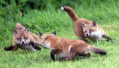 British foxes having an excellent time together.