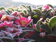 霜に朝日 山茶花