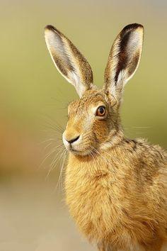 "Beautiful-wildlife: ""Brown Hare by Simon Litten"""