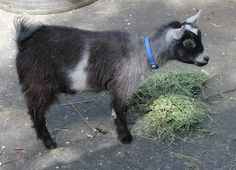 Available Super Sweet (was hand raised bottle baby) African Pygmy Goat Registered Wether.  Excellent pet.  In your face crawl in your lap.  Our customer is moving.  Super price $375 ready forever home now. Show potential. E-mail Debbie@amberwaves.info or text 951-444-0074