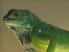 Animal Fact of the Day: Green iguanas will detach their tails if caught and will grow another without permanent damage.   http://thepetwiki.com/wiki/Green_Iguana