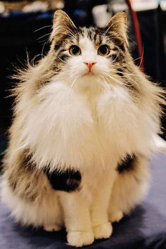 How much grooming your long-haired cat needs really depends on the type of long fur she has.