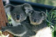 zoo de taronga sydney -koalas