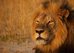 500px ISO » Stunning Photography, Incredible Stories » RIP Cecil: 10 Photos of One of the Most Beautiful Lions who Ever Lived