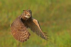 (Photo: Jim Neiger - Kissimmee, Florida)--Although they are usually nocturnal hunters, Great Horned Owls sometimes hunt in broad daylight. After spotting their prey from a perch, they pursue it on the wing over woodland edges, meadows, wetlands, open water, or other habitats. They may walk along the ground to stalk small prey around bushes or other obstacles.