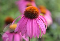 Echinacea purpurea 'Kim's Knee High (PBR)'