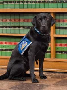 Courthouse Dog Molly B looking ready for work in her Canine Companions for Independence vest. Check out www.courthousedogs.com to learn more about using dogs to comfort child abuse victims during legal proceedings.