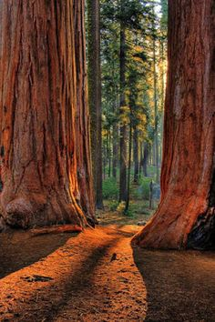 Giant Redwoods are the biggest trees in the world.