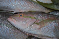Lots of fresh #Florida #KeyWest #Yellowtail #Snapper just in and ready to ship to ho,es across the USA. We deliver free of charge in 24 hours. Order on line --> FloridaSeafood.com