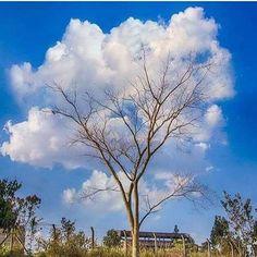 """Amo os ipês! E já tinha visto a espécie nas cores amarelo, roxo, rosa e branco. Mas, ipê-nuvem? Esse foi a primeira vez! A criação de Deus é linda sempre! A árvore está sempre bonita, seja com flores, com folhas ou pelada. Como eu, você também não conhecia """"pé de nuvem""""? #fe#saopaulo #domingo #ipê"""