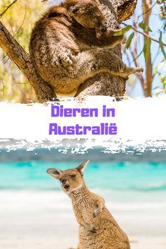 Eén van de gaafste dingen aan reizen door Australië vond ik het spotten van wilde dieren. Er leven veel gevaarlijke en giftige dieren in Australië, maar ook de meest schattige. Hier kun je informatie vinden over dieren in Australië die jij tegen kunt komen tijdens je reis.  #Australie