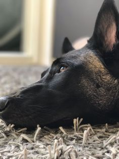 Belgium Malinois, Belgian Malinois Dog, Belgian Shepherd, German Shepherd Dogs, Black Doberman, War Dogs, Pets 3, Gsd Puppies, Dog Rules