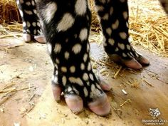 Proof that God has a sense of humor! Baby tapir tootsies.   (KO) Cute little baby. Love the polka dots!