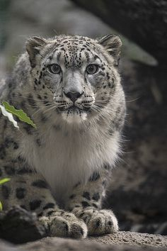 Snow Leopard | by San Diego Zoo Global