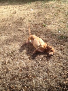 Doc is my Dachshund Basset mix dog and he is always getting dry grass on the floor in the house! He loves to roll in the grass and get it gets all over his back! When I catch him doing this I'll tell him to shake, and he will shake it off! Sometimes it takes two or three shakes to get all of that grass off.