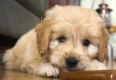 Goldendoodle puppy.
