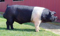 Hampshire Pig | Reg #: 467236001
