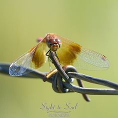 Meadowhawk Dragonfly Art Macro Photography Insect Print
