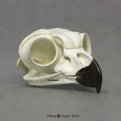 Great Horned Owl Skull - Bone Clones, Inc. - Osteological Reproductions