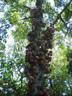 Brazil Nut tree. Love these!!