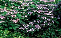 The Smarter Hydrangea   Fine Gardening