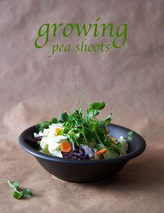 Best pea sprouts or pea tendrils recipe on pinterest - Salads can grow pots eat fresh ...