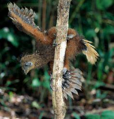Hoatzin (Opisthocomus hoazin) chick climbing a branch, Guyana, South America Weird Birds, I Like Birds, Kinds Of Birds, Feathered Dinosaurs, Prehistoric Wildlife, Living Fossil, Bird Gif, Stay Weird, Game Birds