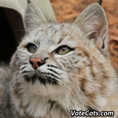 NEW CONTEST FOR THE CATS!! Please vote for our intern Aleesa's video -- you can vote ONCE PER DAY until December 7th!   Big Cat Rescue has the chance to win up to$10,000 for the cats!!  VOTE HERE: VoteCats.com