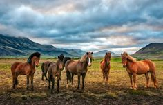 Every horse in Iceland is a model horse.