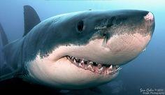 Sharks: runner-up: Bruce, the smiling 5m male great white, by Sam Cahir, Australia