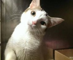 Pulled by Empty Cages Collective* TO BE DESTROYED 4/9/15 *NYC* PRETTY KITTEN! ONLY 5 MONTHS OLD! * Manhattan Center * The finder was able to pick her up and bring her into the care center. Scarlett becomes alert, but remains soft. Scarlett tries to avoid touch. She moves away slowly, puts her paw onto the hand. *   My name is SCARLETT. ID # A1032229. I am a female white and brn tabby dom sh mix. I am about 5 MONTHS old.  I came in as a STRAY on 04/04/2015 from NY 10467