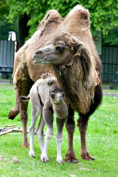 This Bactrian Camel (2 humps) mother  stands with her young daughter at the Krakow (Poland) Zoo.  Mom looks disheveled because she's shedding her winter coat.  Bactrian camels live in the high plains of central Asia, where it gets really cold.  The herds there have been so hunted by people, that they will run for miles upon sighting a human.  The humps don't store water, but fat : think of the humps as an emergency lunch box.  Their wool is used by people in the high plains to keep warm…