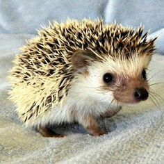 This little Hedgehog is so cute!