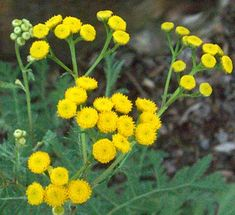 Tansy button flowers.