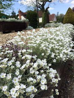 Cerastium Snow in Summer Edging Plants, Snow In Summer, Kingston, Gardening, Cover, Lawn And Garden, Horticulture