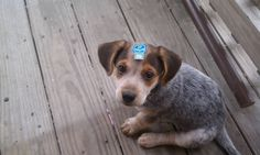 Heeler/beagle mix---I've had a heeler, I've had a beagle. Both awesome dogs. This would be a fantastic mix!