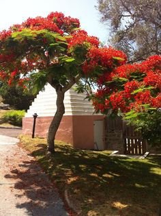 Cambridge Beaches Resort & Spa, #Bermuda - Look at these beautiful poinciana trees in full bloom! #Nature