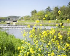 菜の花と鴨川 / Tenderstem broccoli and Kamogawa by Active-U, via Flickr