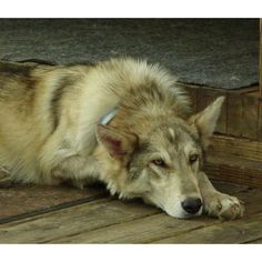 The Wolf-Dog Hybrid Craze: Do they make good pets? Beautiful Wolves, Beautiful Dogs, Animals Beautiful, Cute Puppies, Dogs And Puppies, Doggies, Wolfdog Hybrid, Canis, Animals And Pets