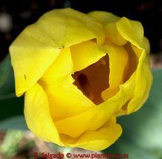Tulipan en Plantamus