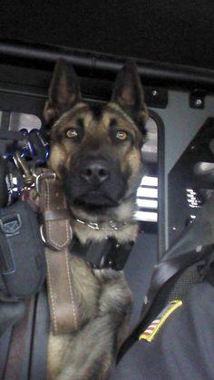 Military working dog...those eyes. Always alert. #german #shepherd